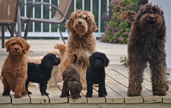 Лабрадудель-собака-Описание-особенности-виды-уход-и-цена-породы-лабрадудель-4