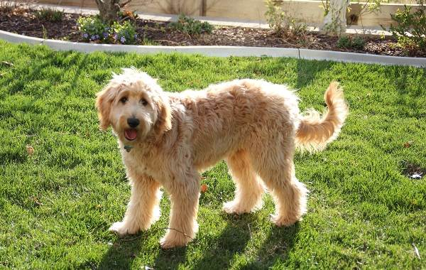 Лабрадудель-собака-Описание-особенности-виды-уход-и-цена-породы-лабрадудель-6