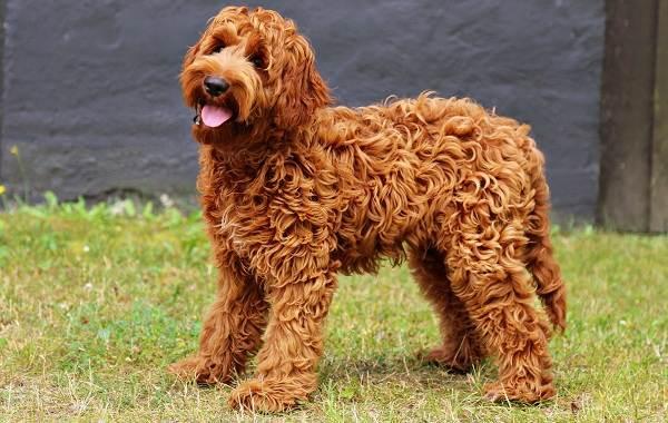 Лабрадудель-собака-Описание-особенности-виды-уход-и-цена-породы-лабрадудель-7