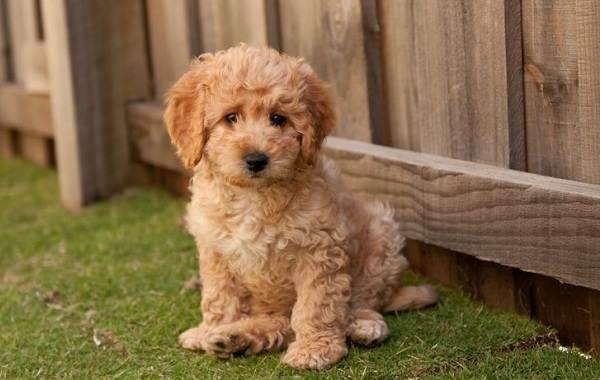 Лабрадудель-собака-Описание-особенности-виды-уход-и-цена-породы-лабрадудель-8