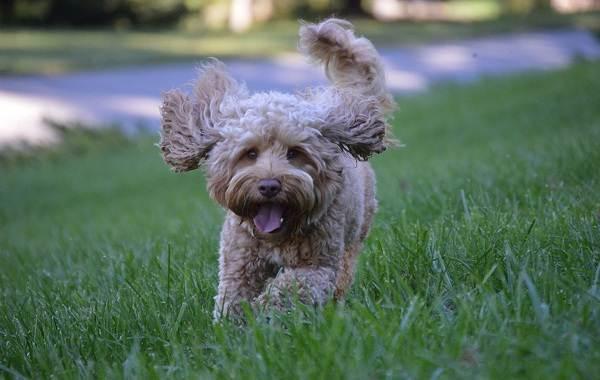 Лабрадудель-собака-Описание-особенности-виды-уход-и-цена-породы-лабрадудель-9