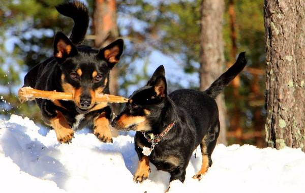 Ланкаширский-хилер-собака-Описание-особенности-характер-уход-и-цена-породы-11