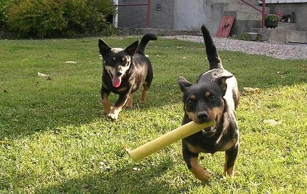 Ланкаширский-хилер-собака-Описание-особенности-характер-уход-и-цена-породы-12