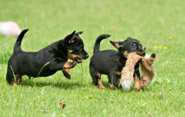 Ланкаширский-хилер-собака-Описание-особенности-характер-уход-и-цена-породы-14