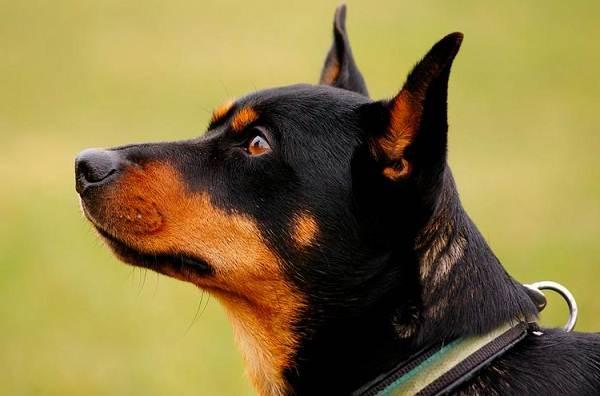 Ланкаширский-хилер-собака-Описание-особенности-характер-уход-и-цена-породы-2