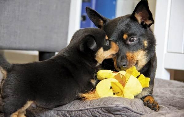 Ланкаширский-хилер-собака-Описание-особенности-характер-уход-и-цена-породы-3