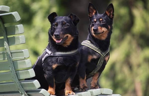 Ланкаширский-хилер-собака-Описание-особенности-характер-уход-и-цена-породы-4