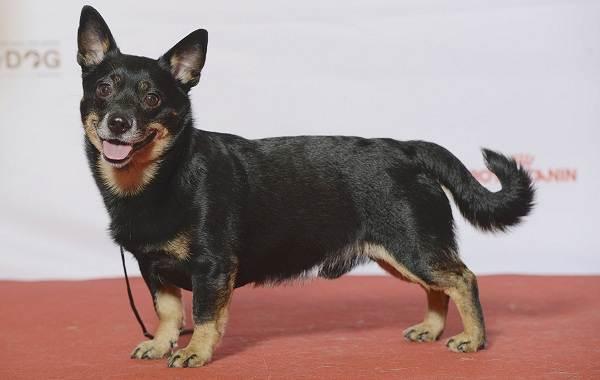 Ланкаширский-хилер-собака-Описание-особенности-характер-уход-и-цена-породы-5