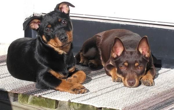 Ланкаширский-хилер-собака-Описание-особенности-характер-уход-и-цена-породы-6
