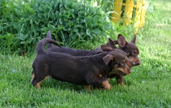 Ланкаширский-хилер-собака-Описание-особенности-характер-уход-и-цена-породы-7