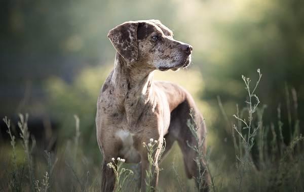 Леопардовая-собака-катахулы-Описание-особенности-характер-история-и-цена-породы-11