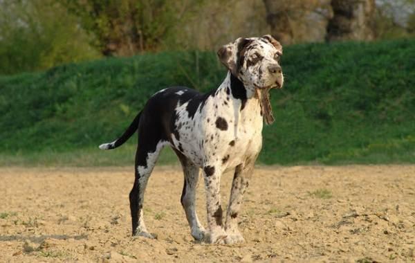 Леопардовая-собака-катахулы-Описание-особенности-характер-история-и-цена-породы-12