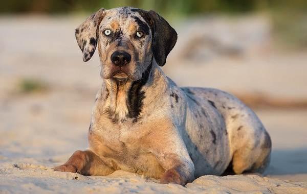 Леопардовая-собака-катахулы-Описание-особенности-характер-история-и-цена-породы-13