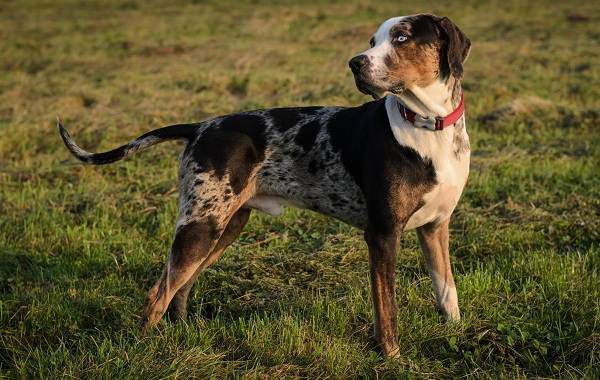 Леопардовая-собака-катахулы-Описание-особенности-характер-история-и-цена-породы-2