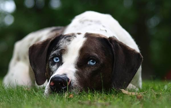 Леопардовая-собака-катахулы-Описание-особенности-характер-история-и-цена-породы-7
