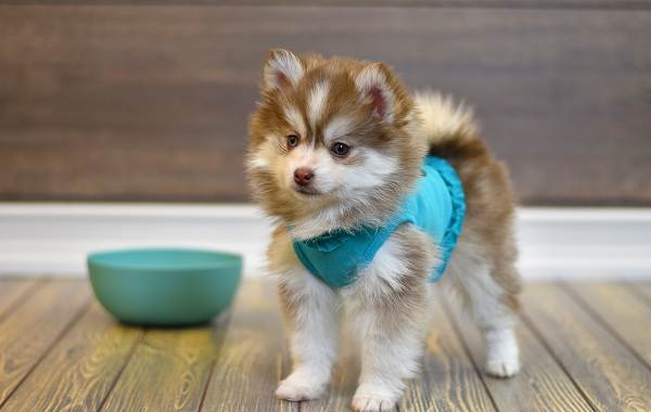 Помски-порода-собак-Описание-особенности-характер-уход-и-цена-помски-11