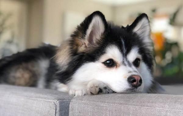 Помски-порода-собак-Описание-особенности-характер-уход-и-цена-помски-2