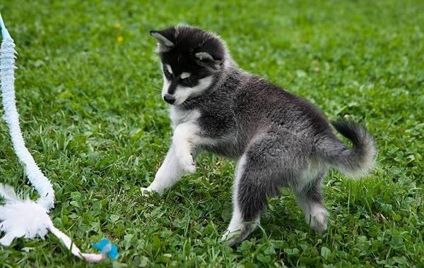 Помски-порода-собак-Описание-особенности-характер-уход-и-цена-помски-3