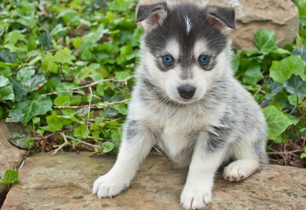 Помски-порода-собак-Описание-особенности-характер-уход-и-цена-помски-4