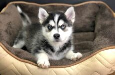 Помски порода собак. Описание, особенности, характер, уход и цена помски
