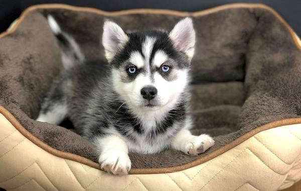 Помски-порода-собак-Описание-особенности-характер-уход-и-цена-помски-5