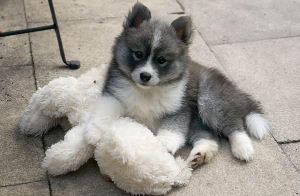 Помски-порода-собак-Описание-особенности-характер-уход-и-цена-помски-6