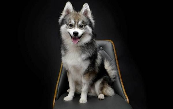 Помски-порода-собак-Описание-особенности-характер-уход-и-цена-помски-8