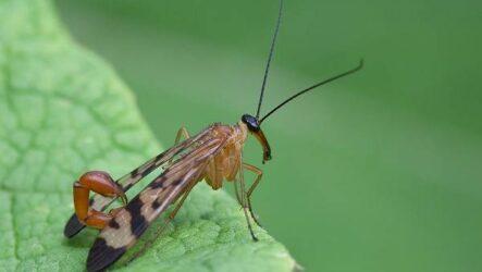 Скорпионница муха. Описание, особенности, образ жизни и среда обитания скорпионницы