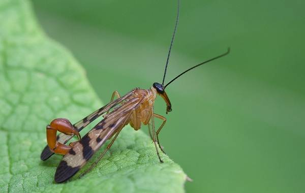 Скорпионница-муха-Описание-особенности-образ-жизни-и-среда-обитания-скорпионницы-1