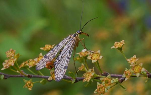 Скорпионница-муха-Описание-особенности-образ-жизни-и-среда-обитания-скорпионницы-10