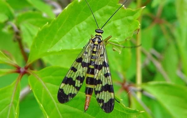Скорпионница-муха-Описание-особенности-образ-жизни-и-среда-обитания-скорпионницы-4