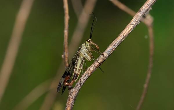 Скорпионница-муха-Описание-особенности-образ-жизни-и-среда-обитания-скорпионницы-5