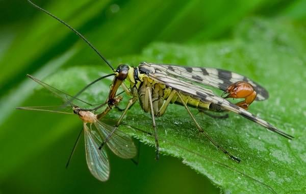 Скорпионница-муха-Описание-особенности-образ-жизни-и-среда-обитания-скорпионницы-6