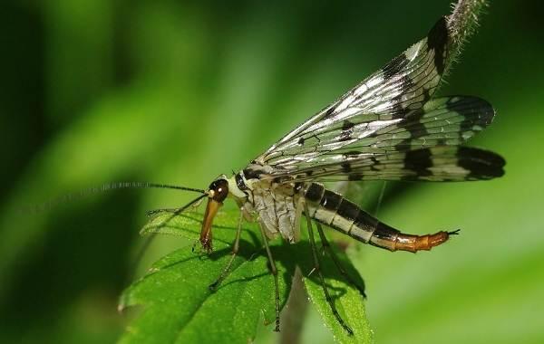 Скорпионница-муха-Описание-особенности-образ-жизни-и-среда-обитания-скорпионницы-8
