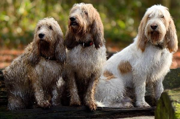 Вандейский-бассет-гриффон-собака-Описание-особенности-характер-уход-и-цена-породы-1