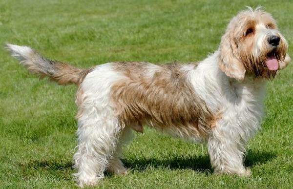 Вандейский-бассет-гриффон-собака-Описание-особенности-характер-уход-и-цена-породы-2