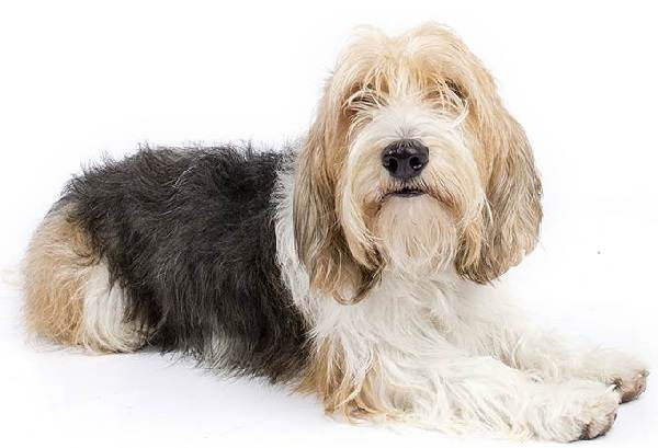 Вандейский-бассет-гриффон-собака-Описание-особенности-характер-уход-и-цена-породы-3