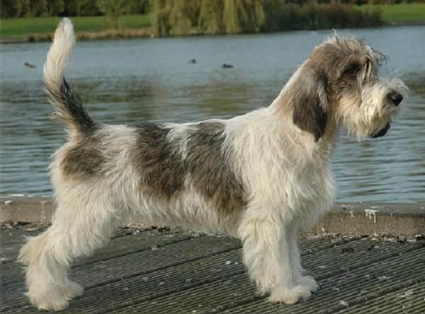 Вандейский-бассет-гриффон-собака-Описание-особенности-характер-уход-и-цена-породы-4