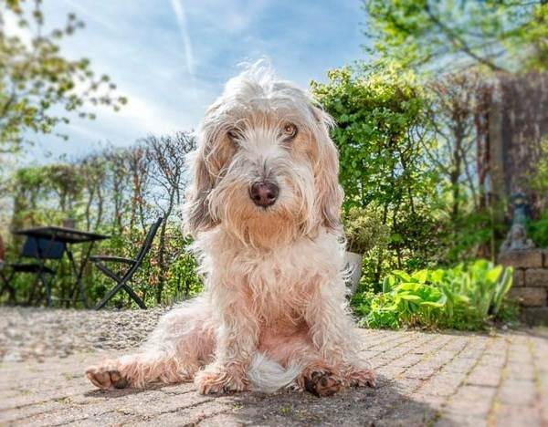Вандейский-бассет-гриффон-собака-Описание-особенности-характер-уход-и-цена-породы-5