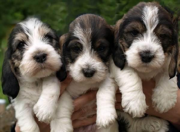 Вандейский-бассет-гриффон-собака-Описание-особенности-характер-уход-и-цена-породы-6