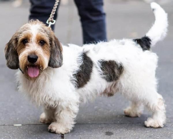 Вандейский-бассет-гриффон-собака-Описание-особенности-характер-уход-и-цена-породы-8