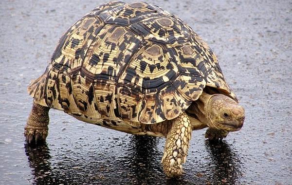 Виды-черепах-Описание-особенности-названия-и-фото-видов-черепах-14