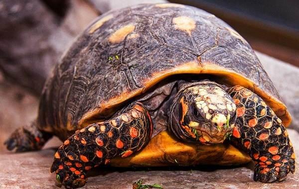 Виды-черепах-Описание-особенности-названия-и-фото-видов-черепах-17