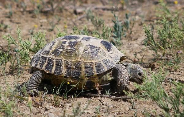 Виды-черепах-Описание-особенности-названия-и-фото-видов-черепах-19