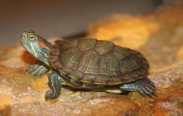 Виды-черепах-Описание-особенности-названия-и-фото-видов-черепах-23