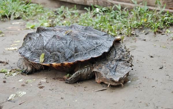 Виды-черепах-Описание-особенности-названия-и-фото-видов-черепах-26
