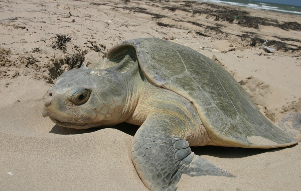 Виды-черепах-Описание-особенности-названия-и-фото-видов-черепах-33