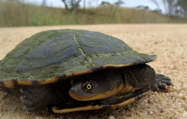 Виды-черепах-Описание-особенности-названия-и-фото-видов-черепах-4