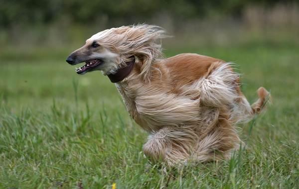 Афганская-борзая-собака-Описание-особенности-виды-характер-уход-и-цена-породы-11