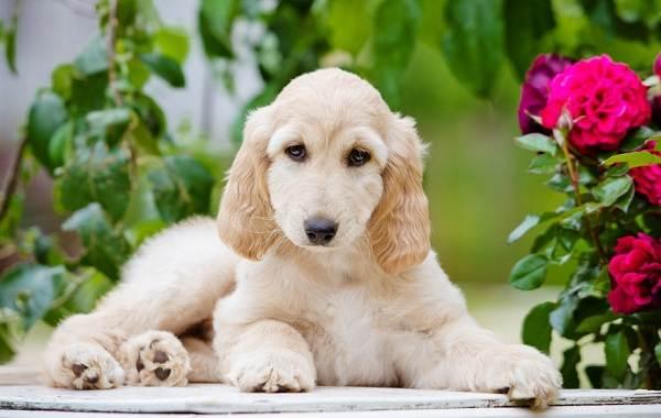 Афганская-борзая-собака-Описание-особенности-виды-характер-уход-и-цена-породы-12